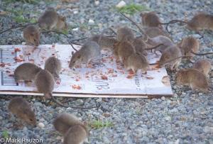 Rats on Wake Island, 2014